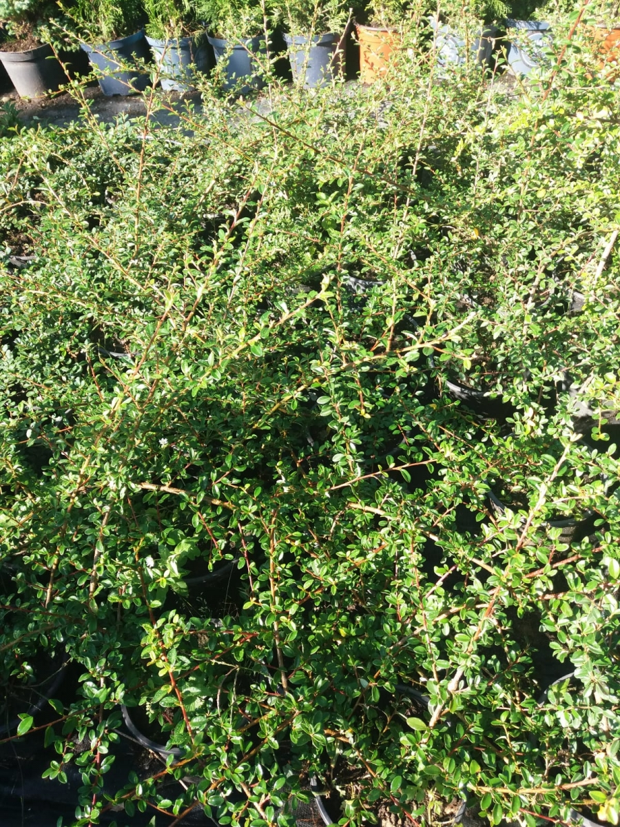 cotoneaster05