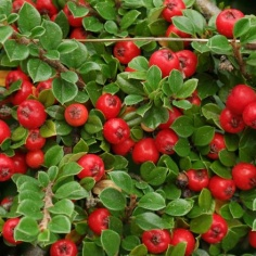 Cotoneaster SP