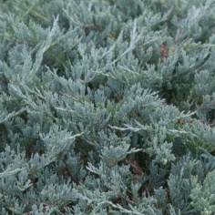 Juniperus Blue Chip