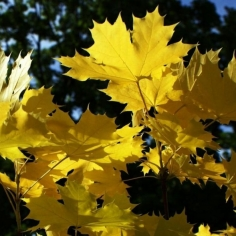 Acer Platanoides Gold
